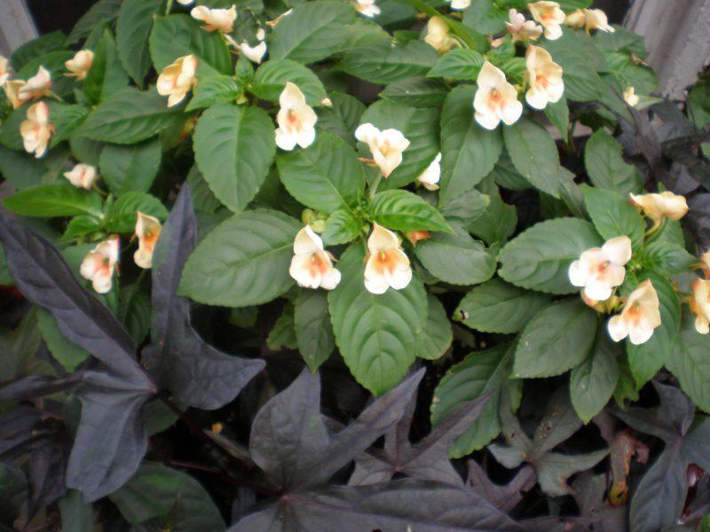Impatiens Failregrets Or Good Riddance Garden Rant