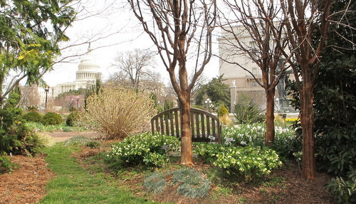 Hellebores blooming in the Bartholdi Garden, part of the USBG