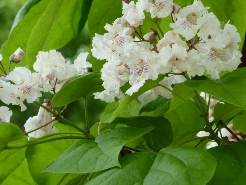 White flowering trees identification image home garden and tree do trees have rights garden rant mightylinksfo