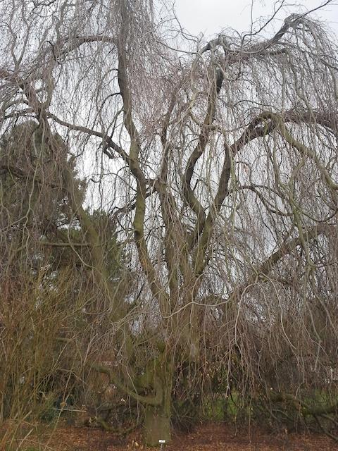 Weeping Beech, Grunberg Vaananen photo 021514