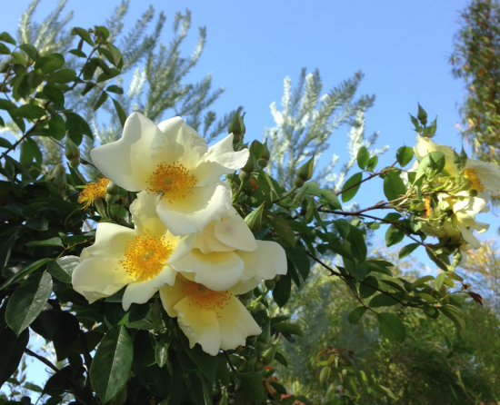 Rosa 'The Mermaid' twinkling and smiling at passersby from my garden fence