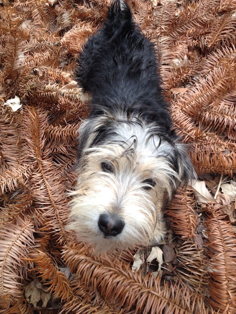 Rufus on a bed of fallen leaves from the China fir, Cunninghamia lanceolata 'Glauca'.