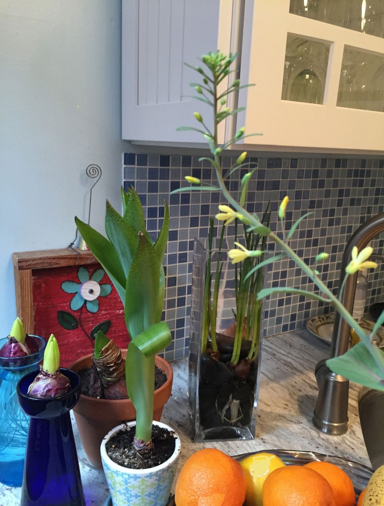 Crazy kale stalk action, with scilla madarensis, amaryllis, hyacinths, and narcissus