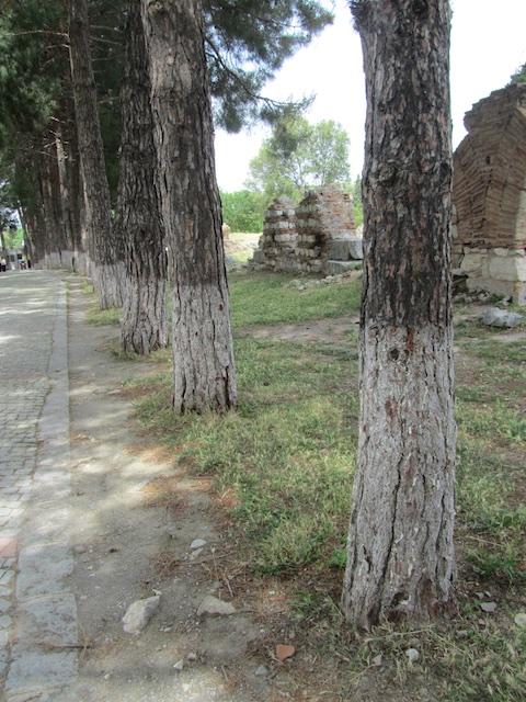 Stone pines. Ephesus, Turkey.