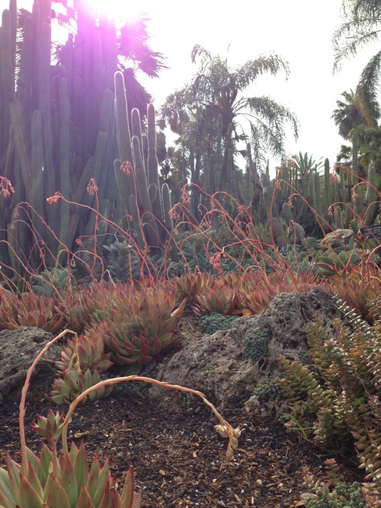 Echeveria agavoides cuddles up to lava rock, as snow poles stand guard and palm trees observe from afar
