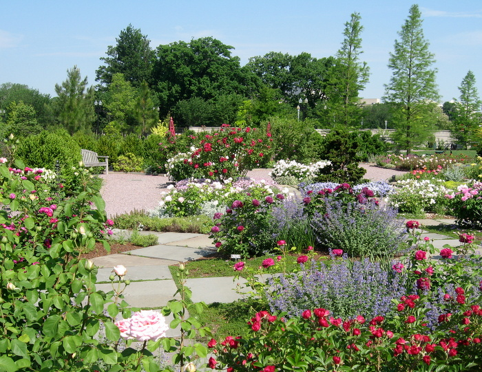 Roses In Garden: Groundcovers Make The Rose Garden