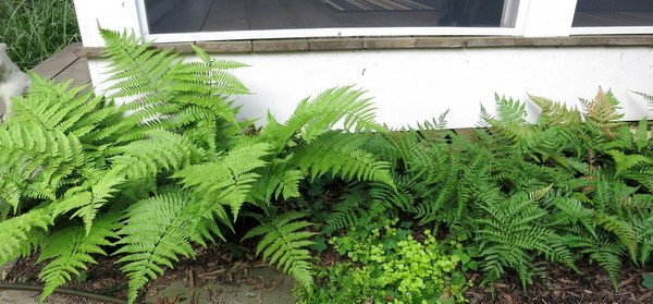 All This Fern Talk Got Me Photographing The Ones In My Garden, Starting  With The Autumn Fern U0027Brillianceu0027 That Adrian Includes In His Five  Favorites.