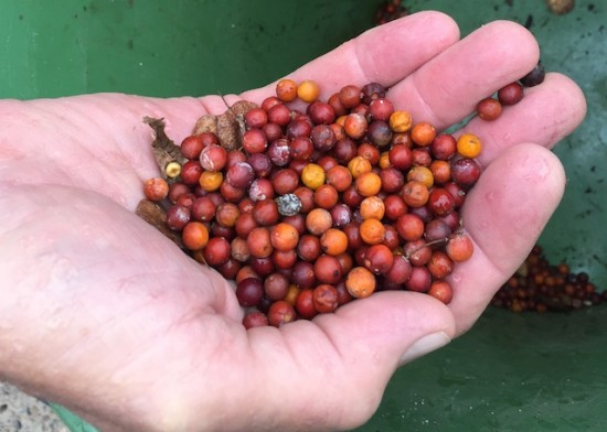 Seeds of the dwarf hackberry.