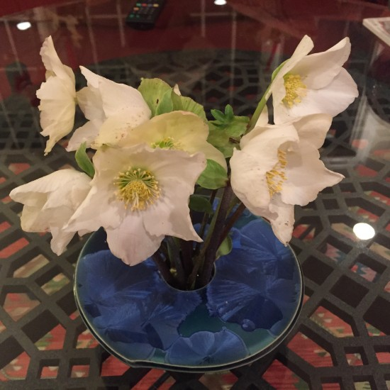 The Christmas rose, Helleborus niger, at Christmastime.