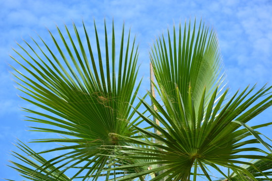 Cabbage palm fronds.