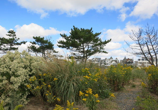 Goldenrods And Boneset (I Think) Blooming In Asbury Park This Week