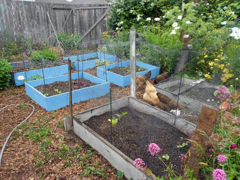 chickens vs. vegetable beds, round two   garden rant