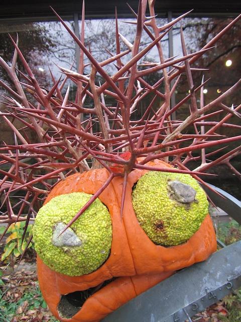 The Undaunted And Undented Osage Orange Gardenrant