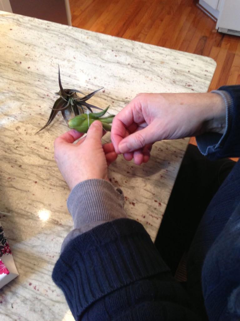Alan Bigelow's deft hands tying up the plants