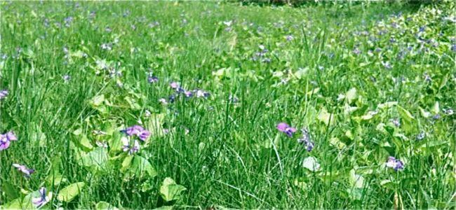 christopher violets 2