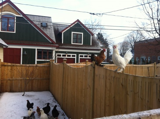 Tiny roosters watching over tiny hens