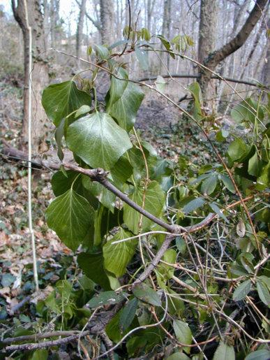 Mature English ivy
