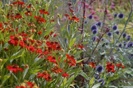 """Helenium 'Rubinzwerg"""" and Echinops ritro 'Veitch's Blue' Free Spirit photo"""