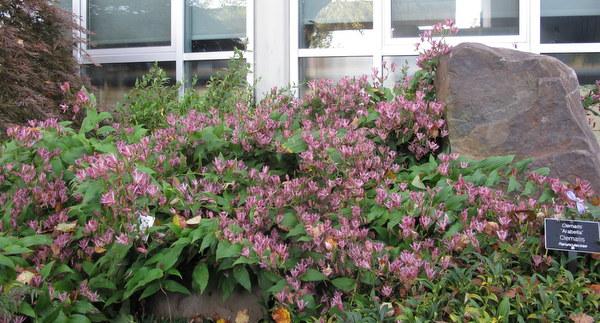 Toad lilies,  Scott Arboretum, Swarthmore College