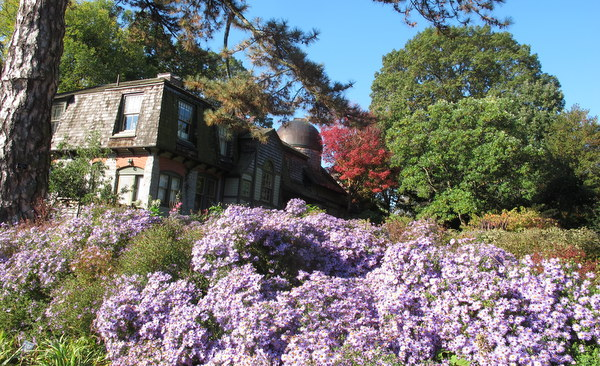 Asters at Scott Arboretum, Swarthmore College