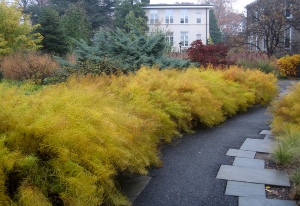 Amsonia at Scott Arboretum, Swarthmore College