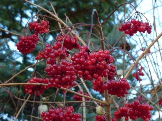 Highbush cranberry (Viburnum trilobum) is a favorite food of cedar waxwings.
