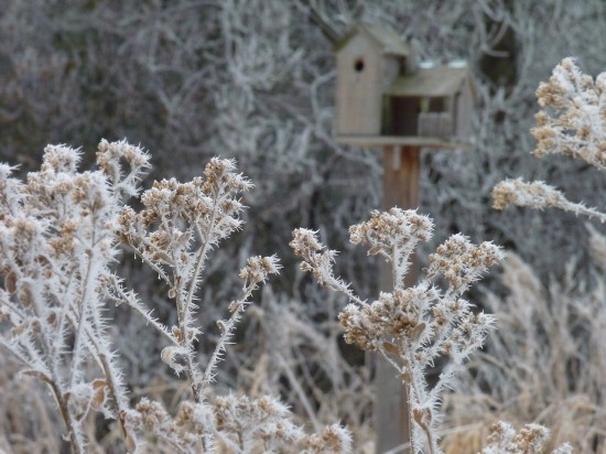 Stiff goldenrod and other seed-producing perennials add to the winter soundscape by feeding small birds.