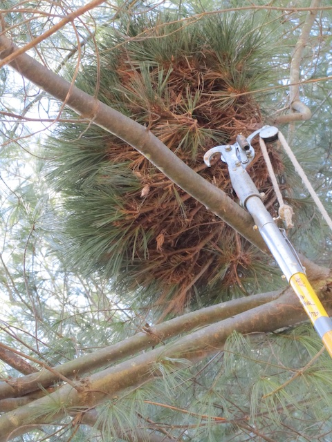 Witches' broom in white pine