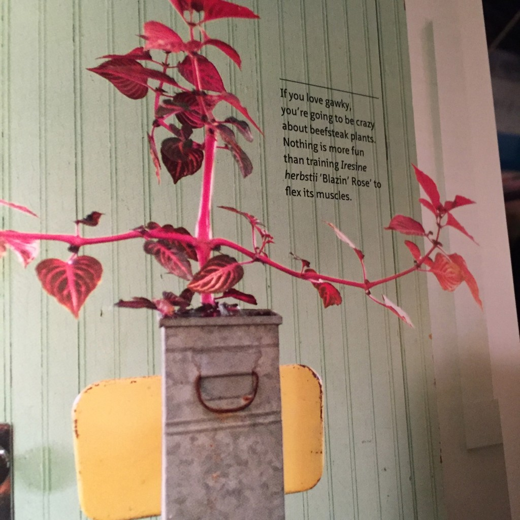 An interesting way to grow Iresine (detail of photo by Kindra Clineff)