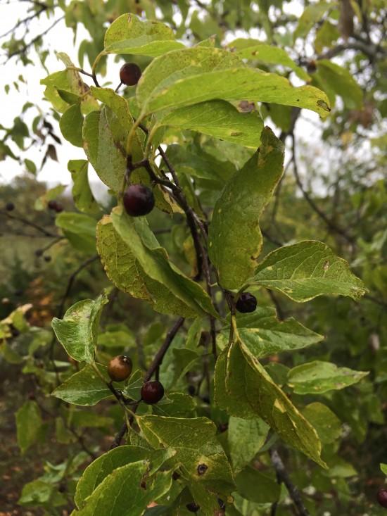 Celtis pumila, the dwarf hackberry.