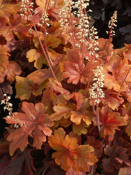Heucherella 'Buttered Rum' (from Bluestone catalog)