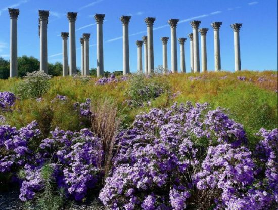 Aster 'Raydon's Favorite' at the National Arboretum. Photo courtesy of Caroline Seay Borgman and the Garden Club of America.