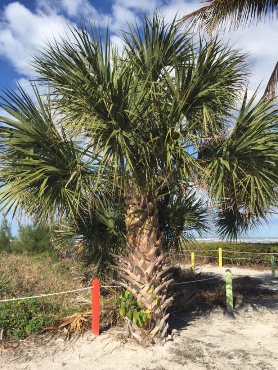 Cabbage palm, Sabal palmetto, on Sanibel Island, Florida.