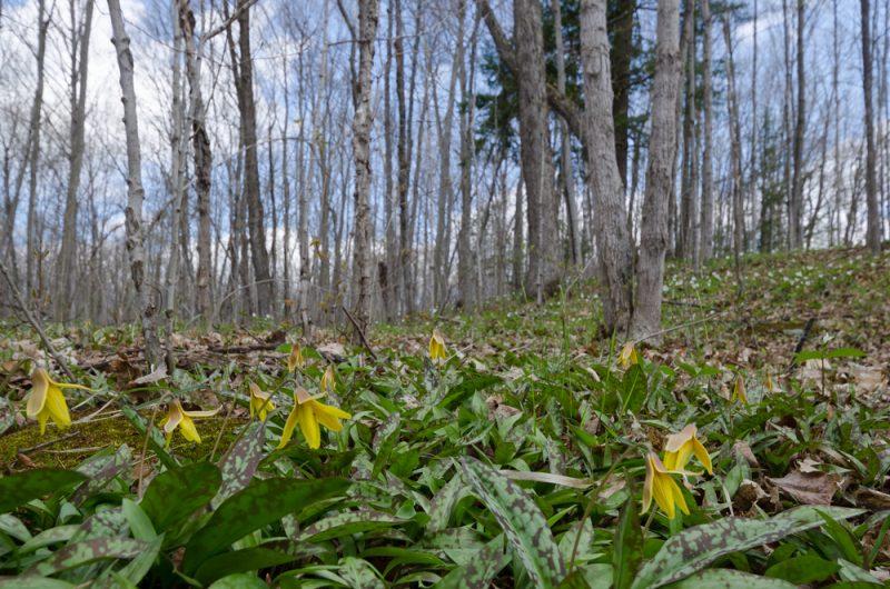Erythronium americanum image courtesy of Shutterstock