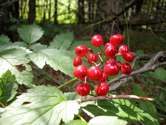 Baneberry image courtesy of Shutterstock