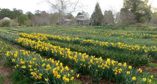 Daffodils in garden of Brent and Becky Heath in Virginia