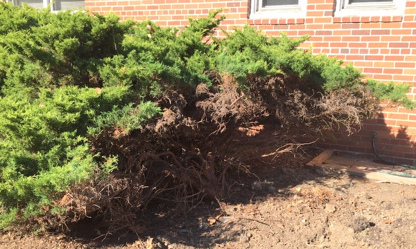 I Saved The Old Junipers Despite Your Advice Gardenrant