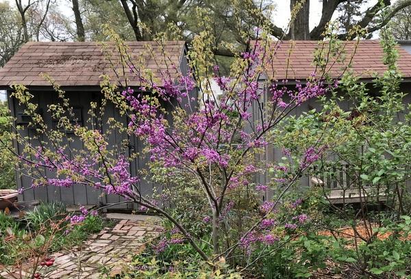 New redbud tree