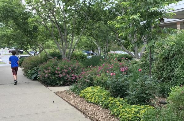 Spireas in city center garden