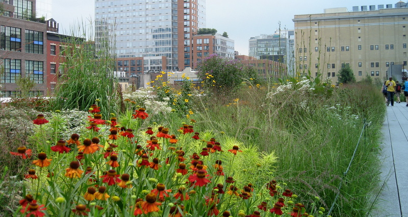 Coneflowers in High Line Park, NYC