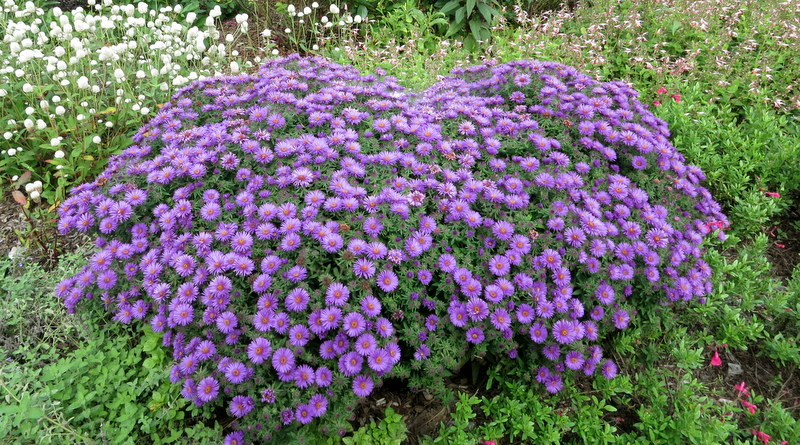 Asters in great gardens of Baltimore