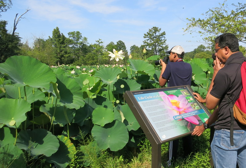 Lotus and Water Lily Festival at Kenilworth Aquatic Gardens