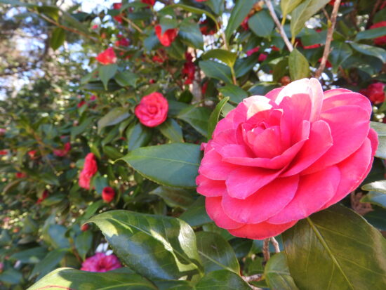 eudora camellia 550x413 - Does your landscape frown on gardening?
