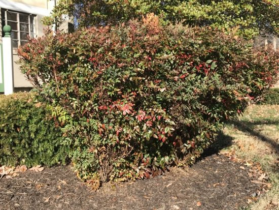Badly pruned Nandinas