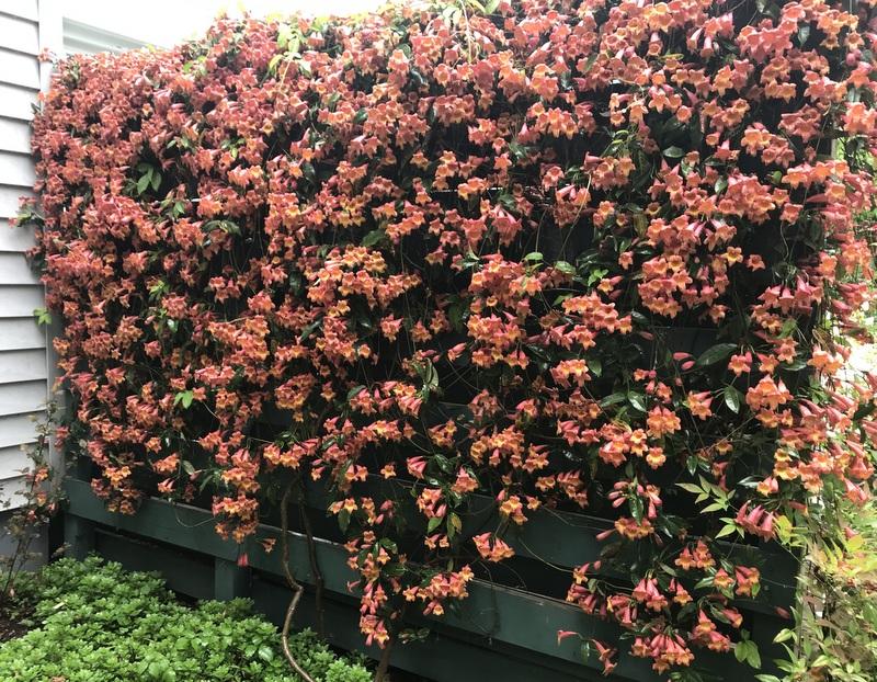 Bigonina - Crossvine - in bloom