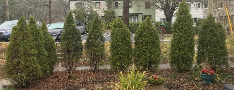 Ugly arborvitae hedge