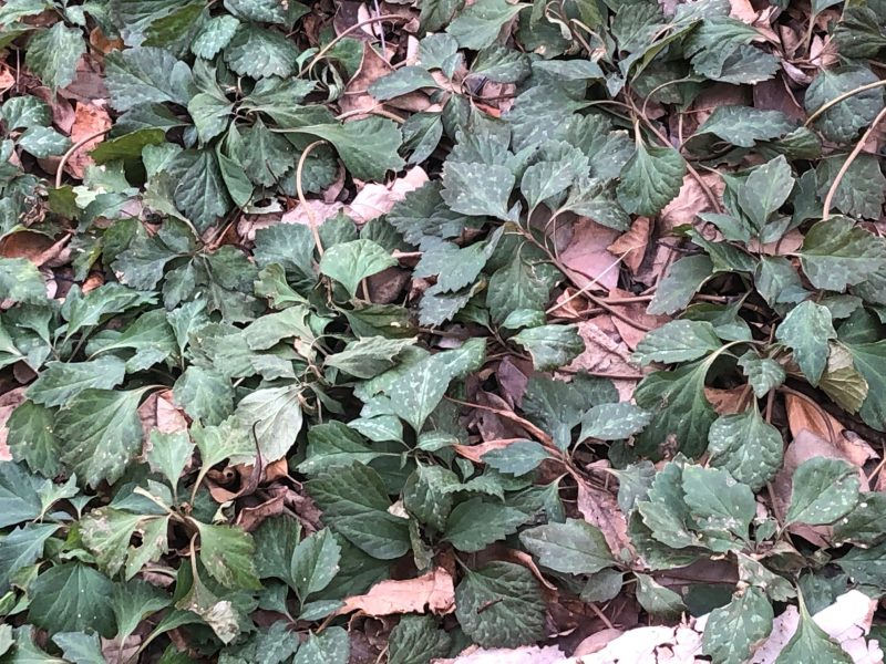 Pachysandra 25 Live Plants Spurge SHADE Ground Cover Bare Root Organic Evergreen