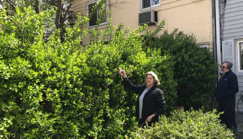 Yankee Clipper pruning teacher with overgrown hedges