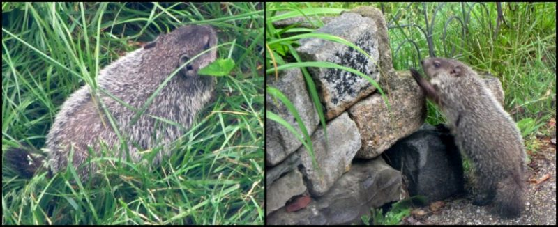 groundhogs in Greenbelt, Maryland