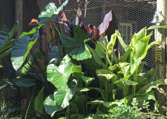 canna and colocasia digital garden